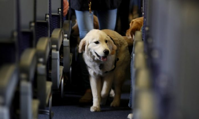 A service dog strolls through the isle inside a United Airlines plane at Newark Liberty International Airport while taking part in a training exercise in Newark, N.J., on April 1, 2017. (Julio Cortez/File Photo via AP)