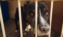 Video: Pit Bull Sheds Tears After He Realizes Owners Dropped Him Off at the Shelter