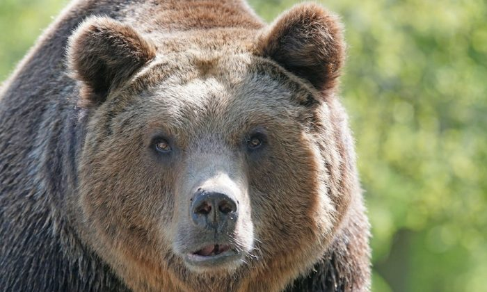 Stock image of bear. (Pixel-mixer/Pixabay)