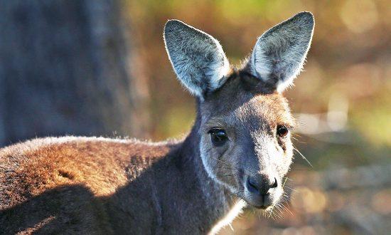 Skippy Kangaroo Video Filmed in the Snowy Mountains Goes Viral