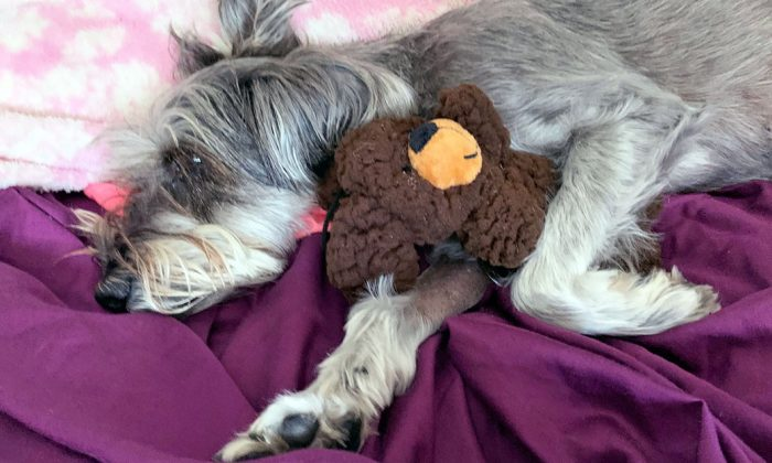 Sophie was diagnosed with a collapsed lung and displaced heart after being kicked at Port Hueneme, Calif., on Aug. 9, 2019. (Courtesy of Port Hueneme Police Department)