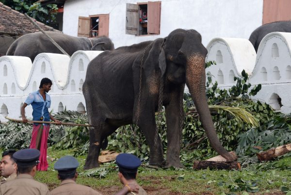 70-year-old-elephant-Sri-Lanka