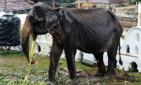 Heartbreaking Photographs Show Starving 70-Year-Old Elephant Forced to Perform in Sri Lankan Festival