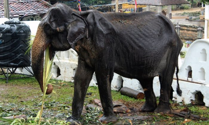 70-year-old emaciated elephant Tikiri eating at the Temple of the Tooth in the central city of Kandy on Aug. 13, 2019. (STR/AFP/Getty Images)