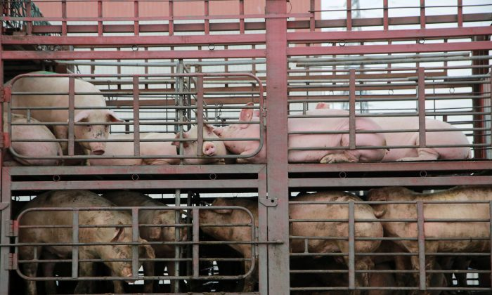 Pigs are seen on the back of a truck outside a slaughterhouse in Dongguan, Guangdong Province, China on Dec. 22, 2017. (Reuters)