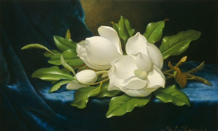 Giant magnolias on a blue velvet cloth, circa 1890, by Martin Johnson Heade. Oil on canvas. Gift of The Circle of the National Gallery of Art in Commemoration of its 10th Anniversary. (National Gallery of Art)