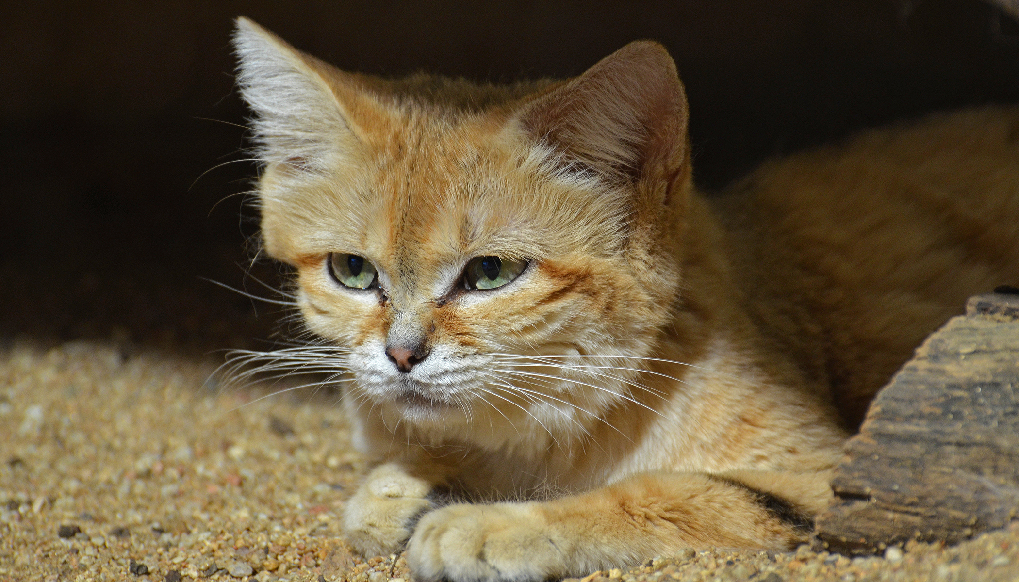 Almost Invisible Arabian Sand Cat Caught on Camera Trap for First Time in 10 Years