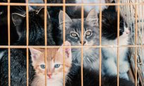 Humane Society Volunteers Rescue Over 600 Cats From Being Made Into Sausages in China