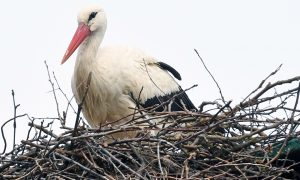 Rescued Stork Malena's Love Story Inspires Carer to Protect Birds From Poachers