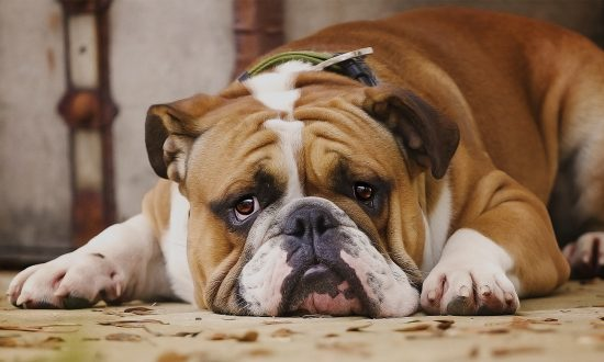 Vet Adopts Incontinent Bulldog Pup After Family Doesn't Want Him Anymore