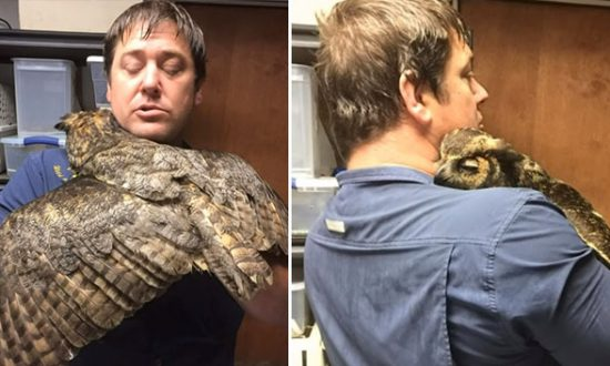 Owl Misses Man Who Saved It From Brink of Death, Gives Him a Big 'Hug' When He Returns