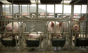 China's African Swine Fever Situation Becoming Increasingly Challenging But CCP Trying to Downplay It
