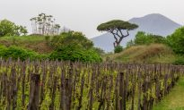 The Volcanic Wines of Vesuvio