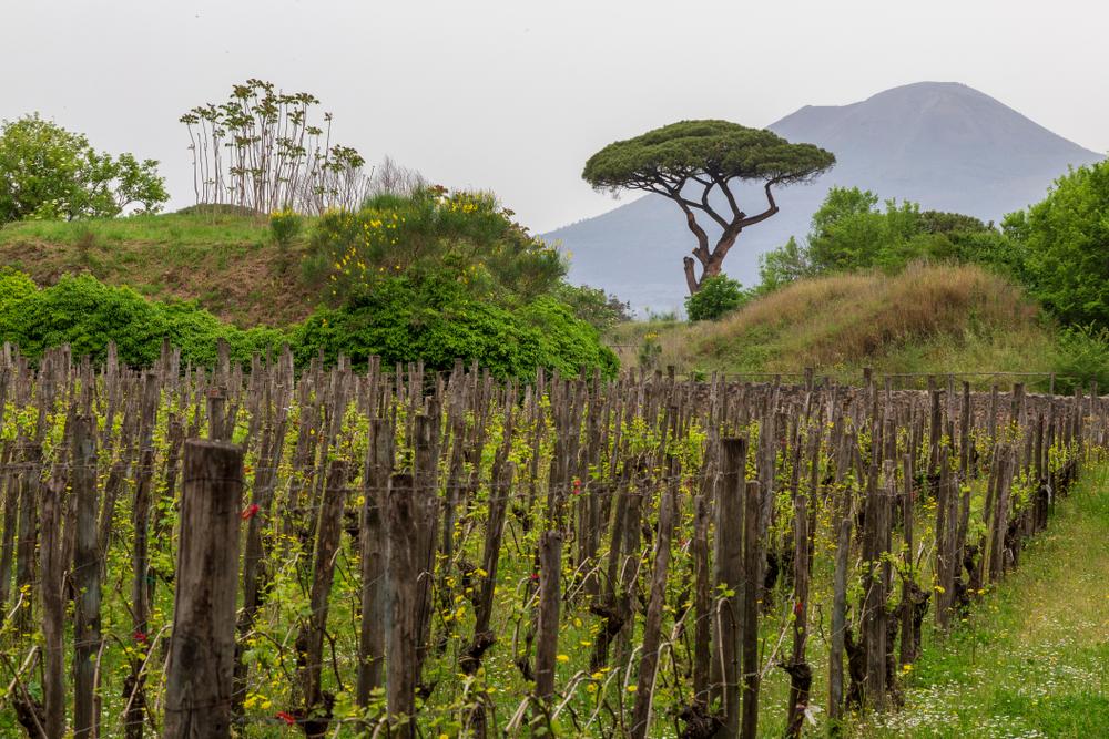 The Volcanic Wines of Vesuvio