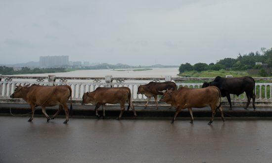 Heifer Herd Blocks Highway, Police Wrangle for 30 Minutes
