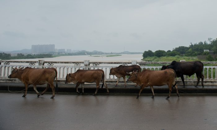 Cows walking along a road in China in this file photo. (Nicolas Asfouri/AFP/Getty Images)
