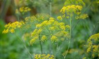 Food Memories: Fresh Dill and Summer Nostalgia