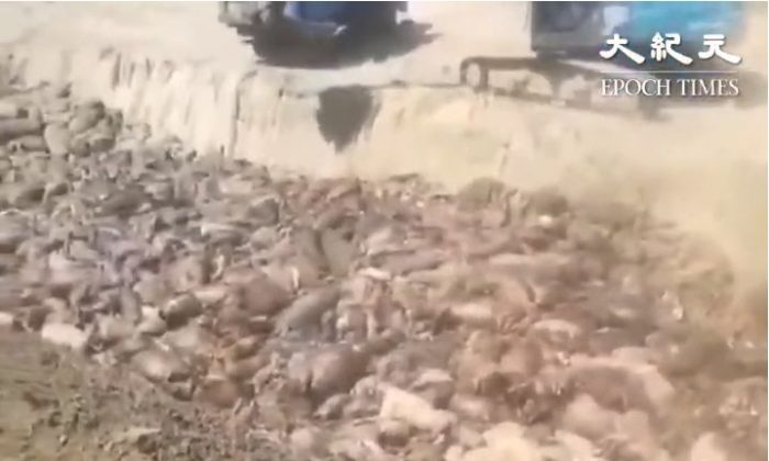 A screenshot from a video showing a truck dumping dead pigs into a huge pit. (Video provided by a resident in Huanyu Village, Rudong County, Jiangsu Province)