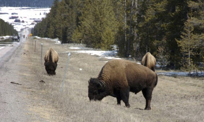 Bison graze along a state highway near West Yellowstone, Mont., on April 20, 2014. (Matthew Brown/File Photo via AP)
