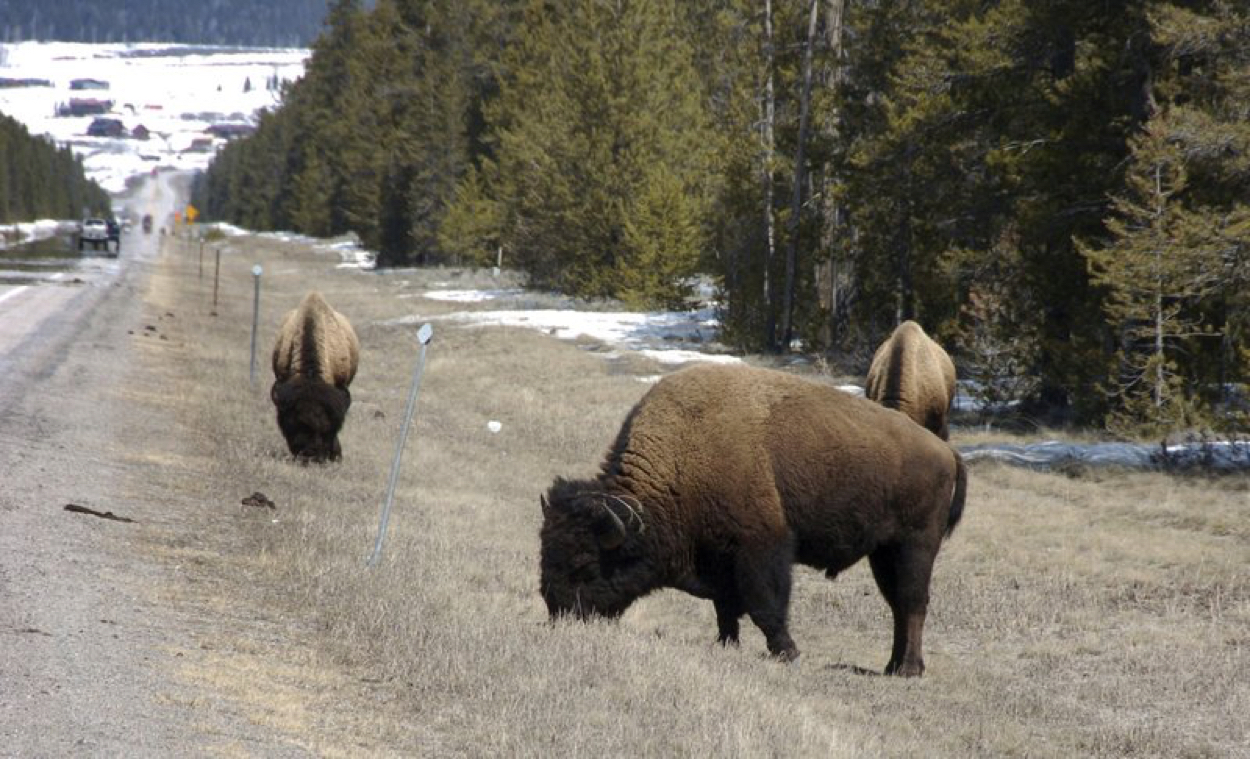 Video Shows a Giant Bison Ramming Into a Family's Rental Car in Yellowstone