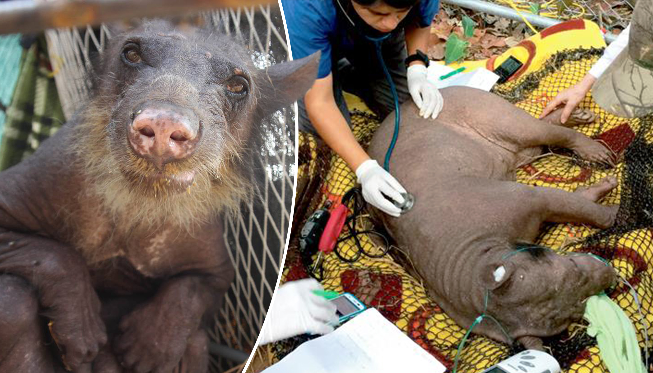 Circus Bear Went Bald From Stress and Had Toes Cut Off, Now Witness Her Joyful Rescue