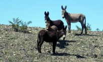 Reward Increases for Information on Poachers Suspected of Killing Wild Burros at the Mojave National Preserve