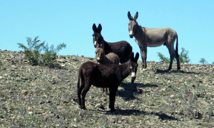 An undated photo of wild burros roaming the Mojave National Preserve in San Bernardino County, Calif. (Courtesy of the US Bureau of Land Management)