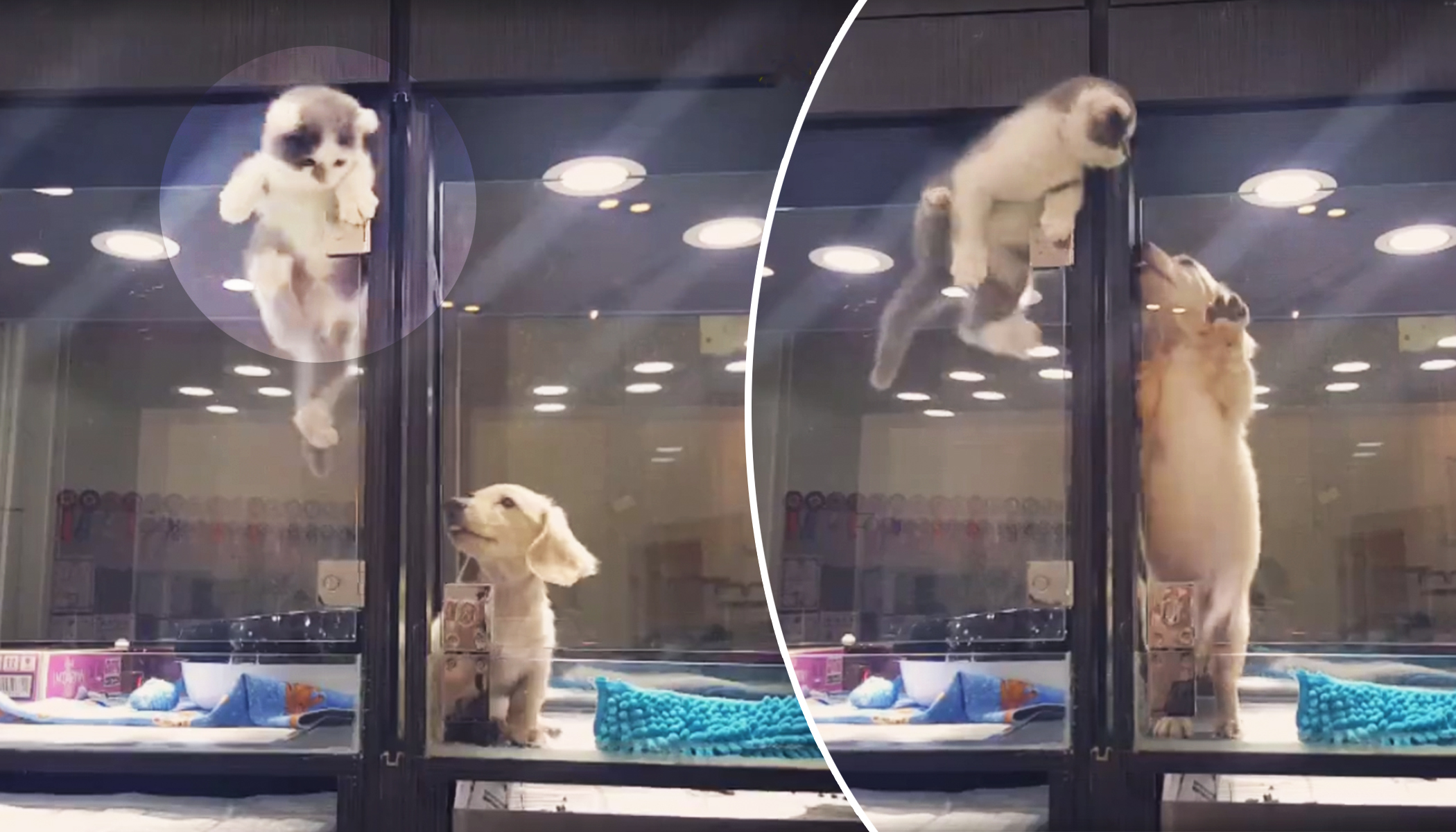 Lonely Pup Lies Inside Glass Enclosure at Pet Store, So Kitten Next Door Makes a Move