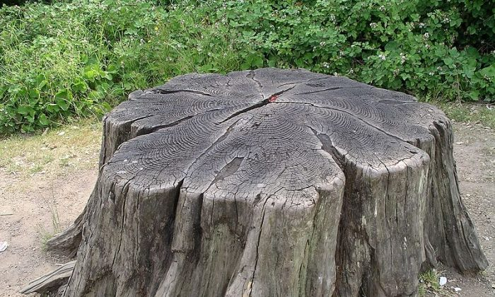 Tree stump, about 37 years after felling (This file is licensed under the Creative Commons Attribution-Share Alike 2.5 Generic, 2.0 Generic and 1.0 Generic license.)