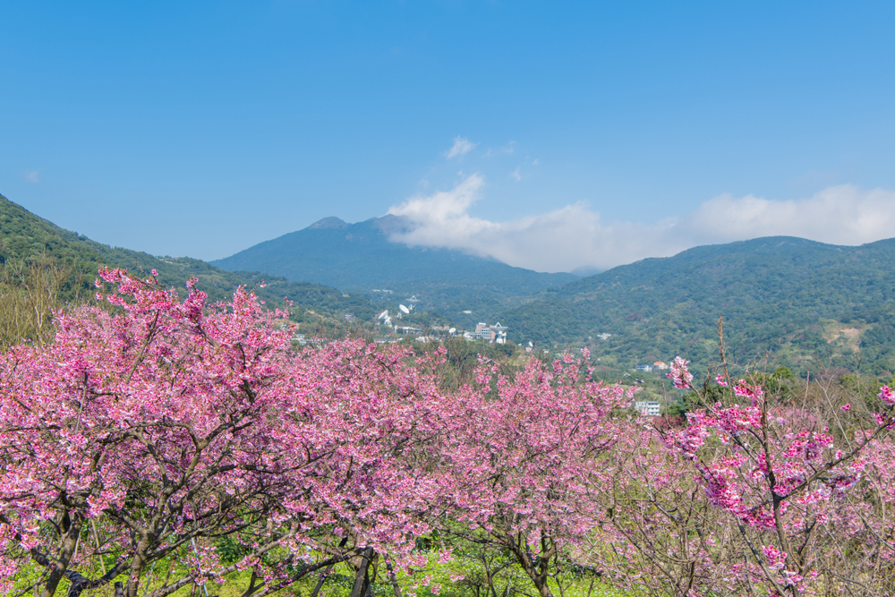 cherry blossoms in yangmingshan national park