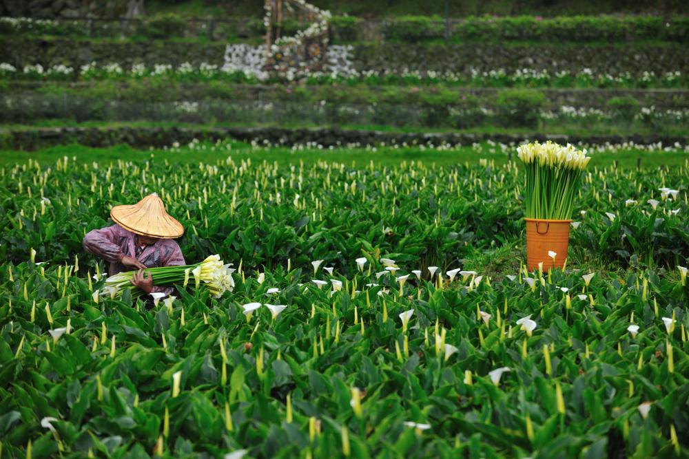 farmer collects calla lilies at bamboo lake yangmingshan