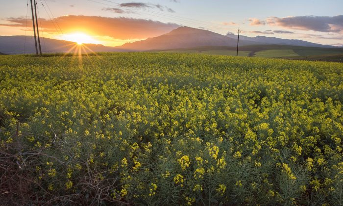 The sun sets over canola fields in South Africa's Western Cape Province near Botriver on Aug. 28, 2019. (RODGER BOSCH/AFP/Getty Images)