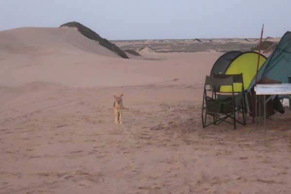 jackal at camp