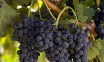 Food Memories: An After-School Snack in the Vineyards