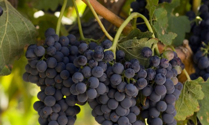 Concord grapes, in season in the fall. (Shutterstock)