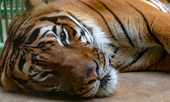 Endangered Sumatran Tiger Delivers Cub. An Hour Later, Camera Films Something Thrilling