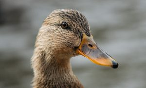 High School Football Players Suspended After Duck Was Killed: Reports