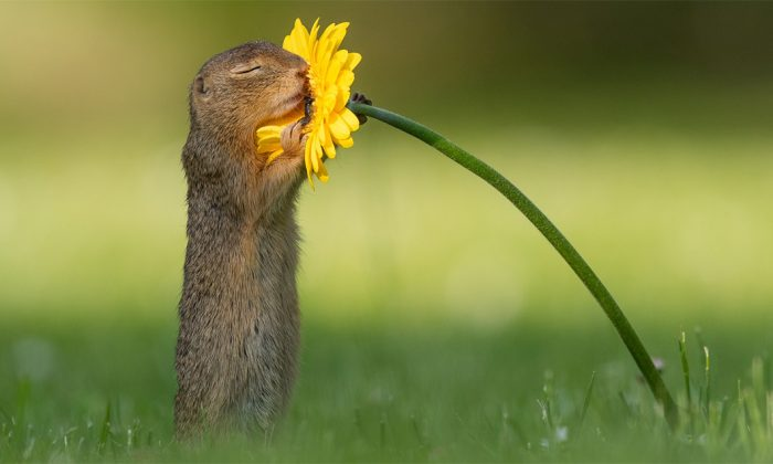 An undated photo of a squirrel smelling a yellow daisy flower before eating it in Vienna, Austria. (Courtesy of Dick van Duijn/Facebook)