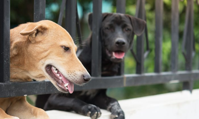 Dogs peek through a gate in a file photo. (Illustration - Shutterstock)
