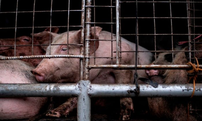 Pigs in a truck in Manila, the Philippines, on Dec. 21, 2018. (Noel Celis/AFP/Getty Images)