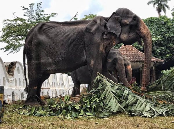 Sri Lankan Perahera Festival