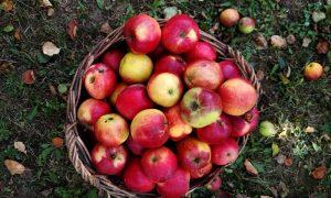 Gone Heirloom Apple Hunting