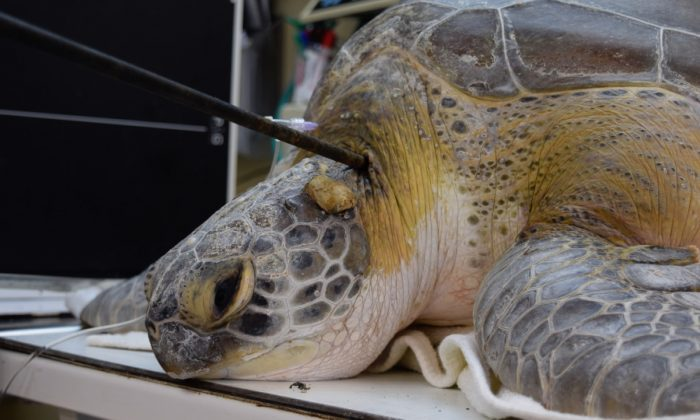 Green sea turtle named 'Splinter' was found with a 3-foot-long spear in its neck near Key Largo in Marathon, Florida, on Sept. 7, 2019. (Turtle Hospital)