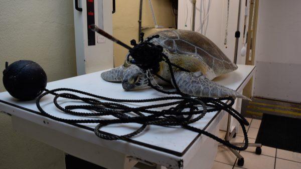 Green sea turtle named 'Splinter'1
