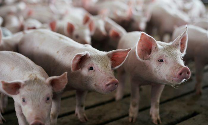 Young pigs in a pen at a hog farm in Ryan, Iowa, U.S., on May 18, 2019. (Ben Brewer/Reuters)