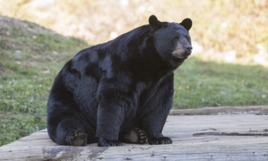Man Arrives Home Only to Find Giant Black Bear Taking a Nap on His Doorstep