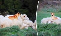 Sheepdog Gets Caught on Video Making Friends With Sheep, Going for Cozy Piggyback Ride