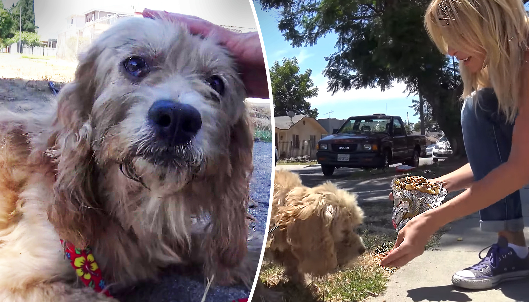 Homeless Cocker Spaniel Is Starving on the Streets Until Hope for Paws Comes to the Rescue