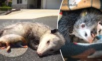 Mother Possum Found Dead on the Road, Her Body Protecting 9 Tiny Babies