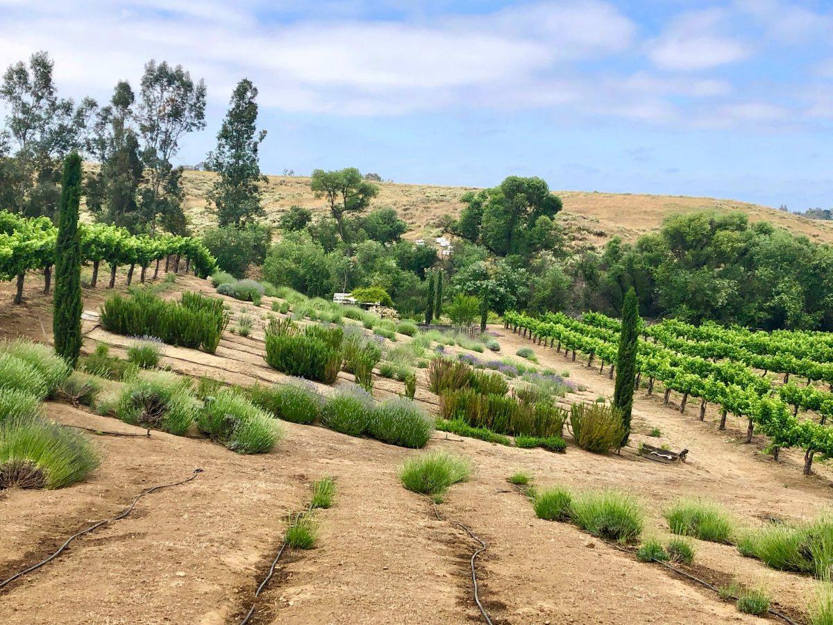 Temecula Lavender Farm by Tracy Kaler